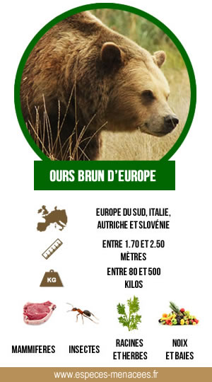 infographie ours brun d'europe