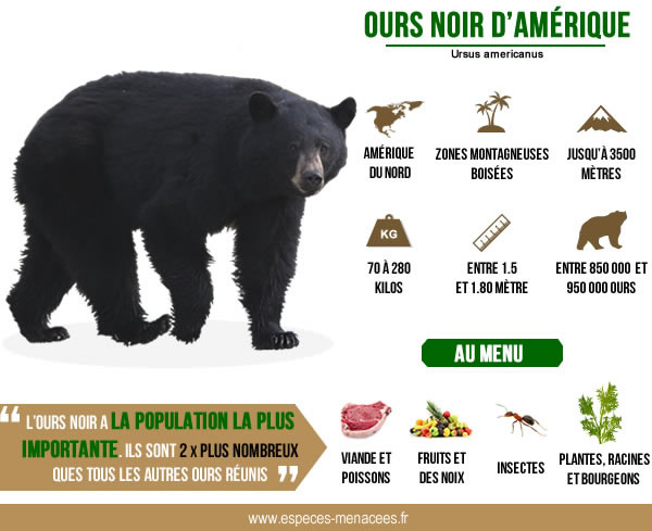 ours baribal infographie