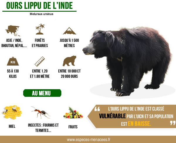 infographie ours lippu