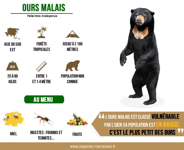 ours malais infographie