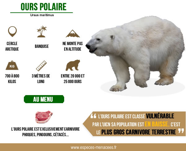 ours polaire infographie