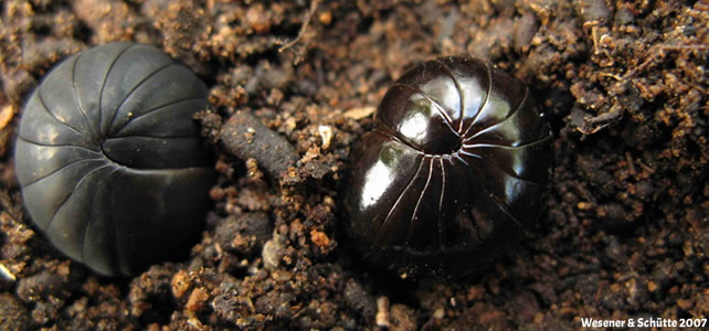 Shiny Giant Pill-Millipede