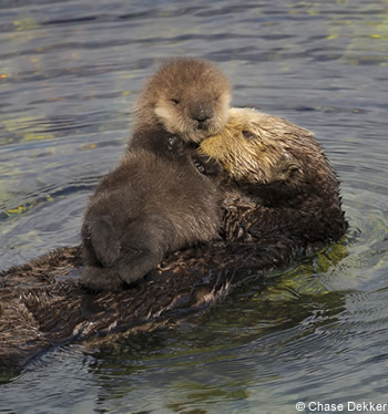 famille loutre