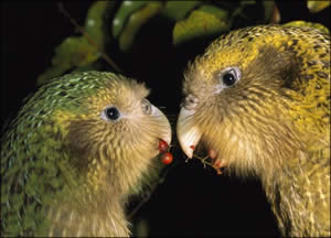 Couple de kakapo mangeant des baies