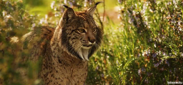 Le lynx pardelle - Article 3