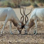 L'addax en danger imminent d'extinction !