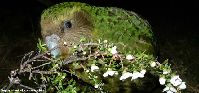 Le kakapo - Article 2