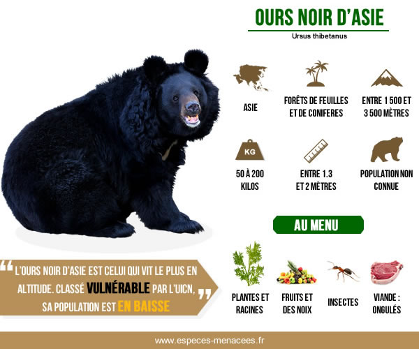 infographie ours à collier