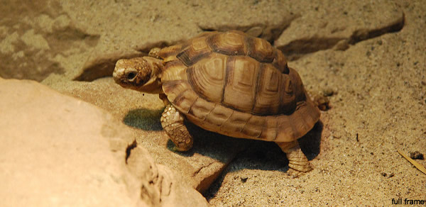 tortue egyptienne
