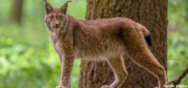 Le lynx pardelle - Article 1