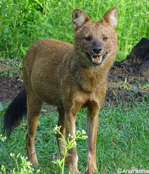 Description du dhole