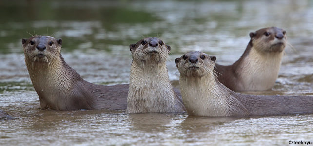 Asian small-clawed otter