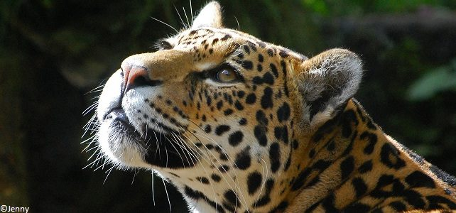 Conservation du jaguar