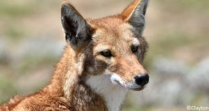 Loup d'Abyssinie (Canis simensis)