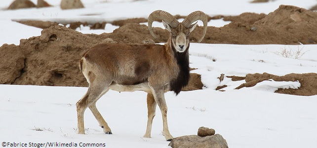 Urial protection COP13